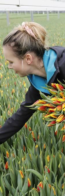 Gouden lente voor de tulp