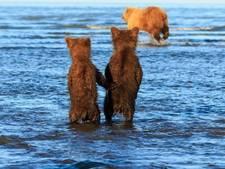 Natuurfotograaf spot beertjes die 'pootjes vasthouden'