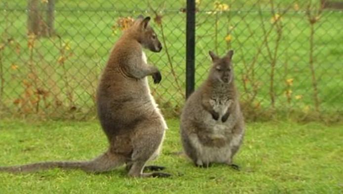 Kangoeroe Arjan (links) maakt indruk op zijn vrouwtje. Het jong zit in de buidel van zijn moeder.