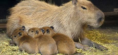 Schrikkelcapibara's zien levenslicht in Limburgse dierentuin