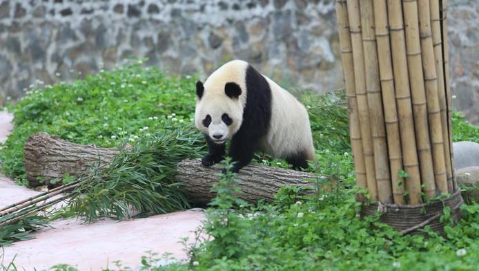 Vrouwtje panda Wu Wen, een van de twee panda's die naar Ouwehands Dierenpark in Rhenen gaan.