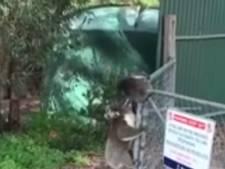 Koalamoeder schiet haar kleintje te hulp