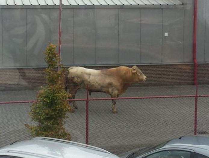 De ontsnapte stier op een terrein aan de Edisonring in Dodewaard.