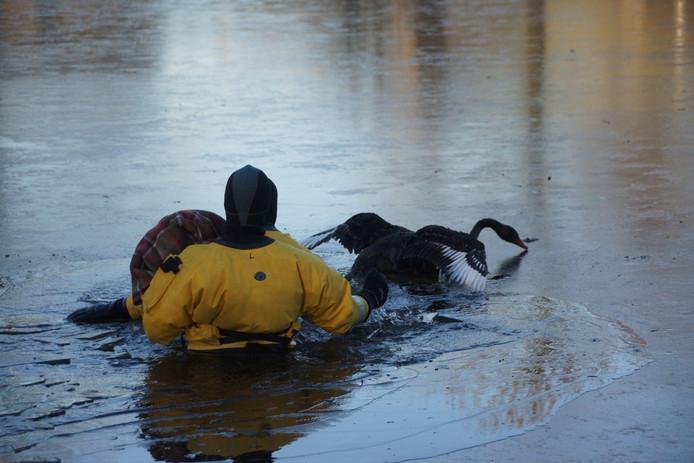De brandweer benadert de vastgevroren zwaan met een deken.