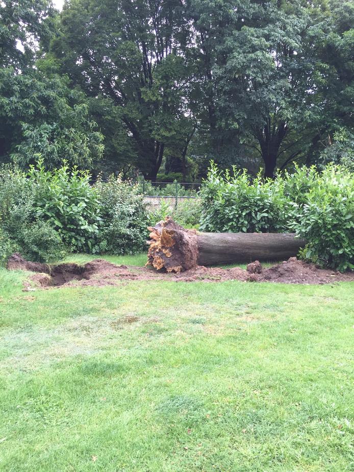 Ook aan de Opaalstraat waaide een boom om.