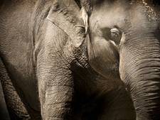 Circusolifant doodt Vietnamees meisje