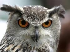 Vogelwerkgroep wil politie inschakelen om oehoe in Heerlijkheid Beek