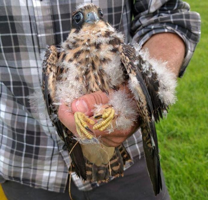 De uit het nest gevallen, jonge boomvalk.
