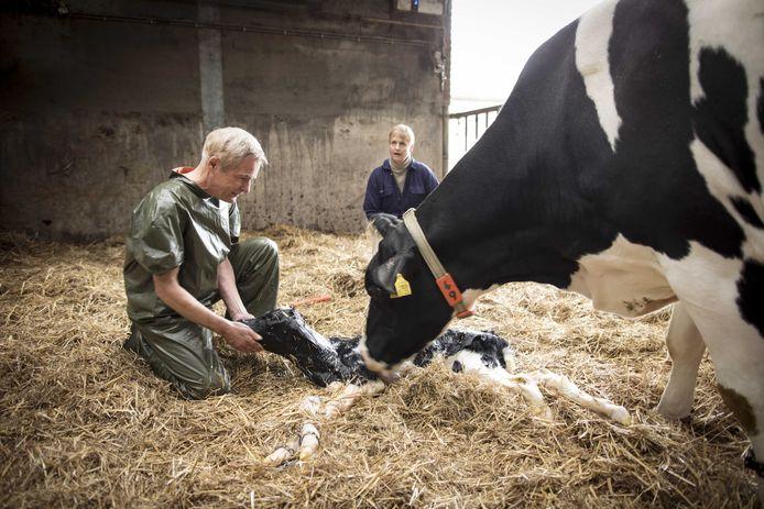 Herman Finkers heeft voor de film De Beentjes van Sint-Hildegard een koe helpen kalveren. Het kalf heeft de naam Herman gekregen.