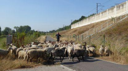 Infrabel laat schapen en geiten grazen op spoorwegbermen