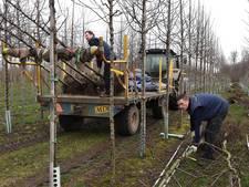 Bomen uit Cuijk klaar voor reis naar monument MH17
