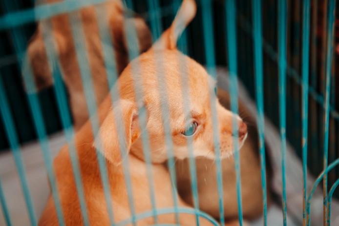 Een chihuahua (foto ter illustratie)