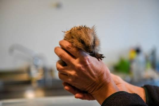Woensdag 8 januari werden de laatste egels opgehaald door de dierenambulance.