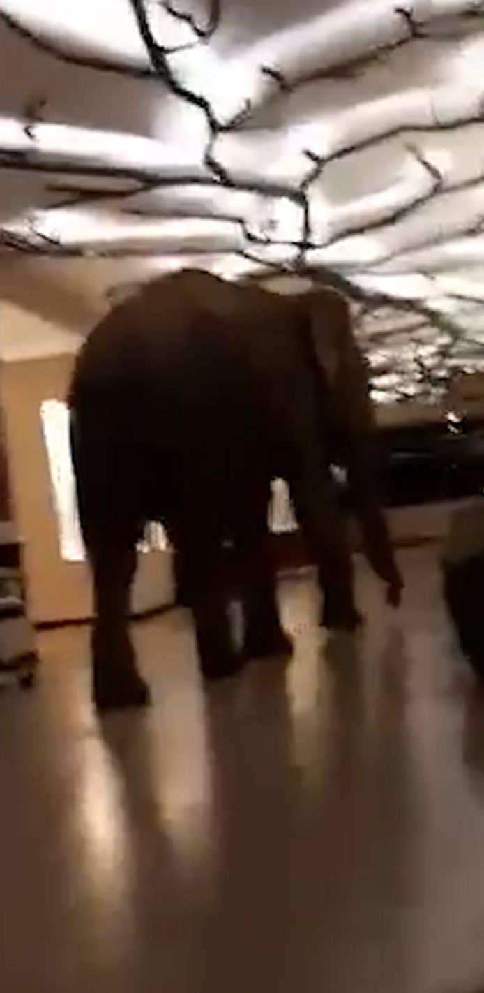 L'éléphant perdu a erré de longues minutes dans les couloirs de l'hôtel