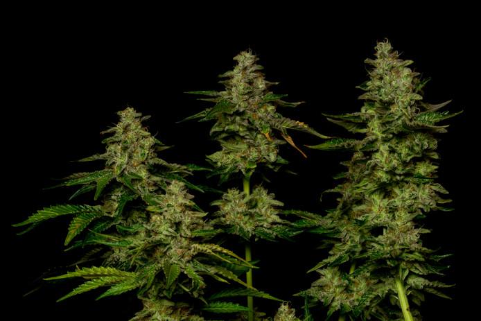 Wietplanten. Foto ter illustratie.