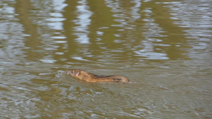 Een wijkbewoner fotografeerde enige maanden geleden deze zwemmende rat in de vijver.