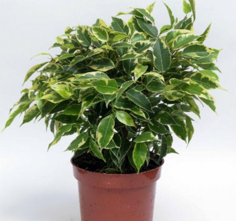 Een ficus is een robuuste plant maar kan toch problemen hebben met veranderende temperatuursomstandigheden.