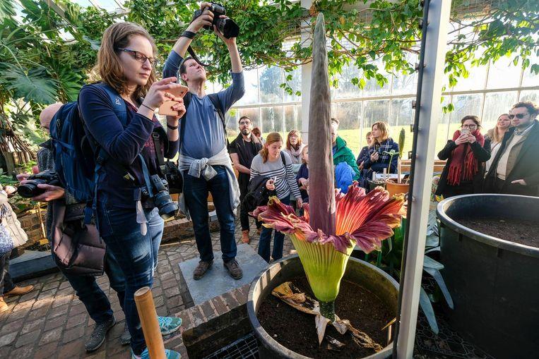 Elk jaar lokt de uiterst zeldzame reuzenaronskelk duizenden bezoekers naar de Plantentuin.