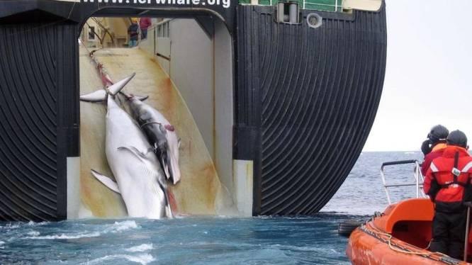 Japanners blijven hardnekkig walvissen vermoorden