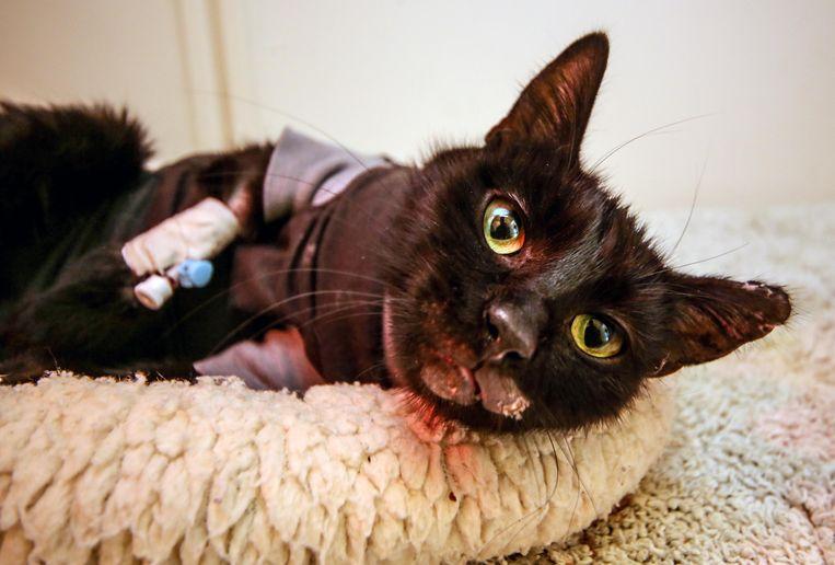 Het zwaar verbrande katje had veel zorgen nodig, in dierenartsenpraktijk Overleie. Hier een archiefbeeld van toen.