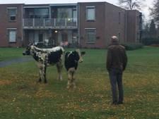 Consternatie in Bladel: loslopende koeien wandelen zelfs naar Lage-Mierde