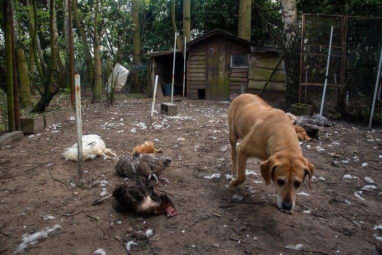 In de Damvalleistraat heeft een vos een kippenhok uitgemoord. Zelfs de waakhond schrok hem niet af.