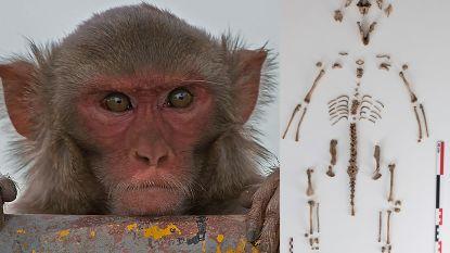 Primeur in Vlaanderen: aapje opgegraven bij archeologisch onderzoek voor heraanleg Marktplein in Sint-Lievens-Houtem