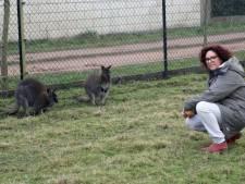 Zwangere wallaby sterft door stress na vuurwerk: 'Kindje in onze handen gestorven'