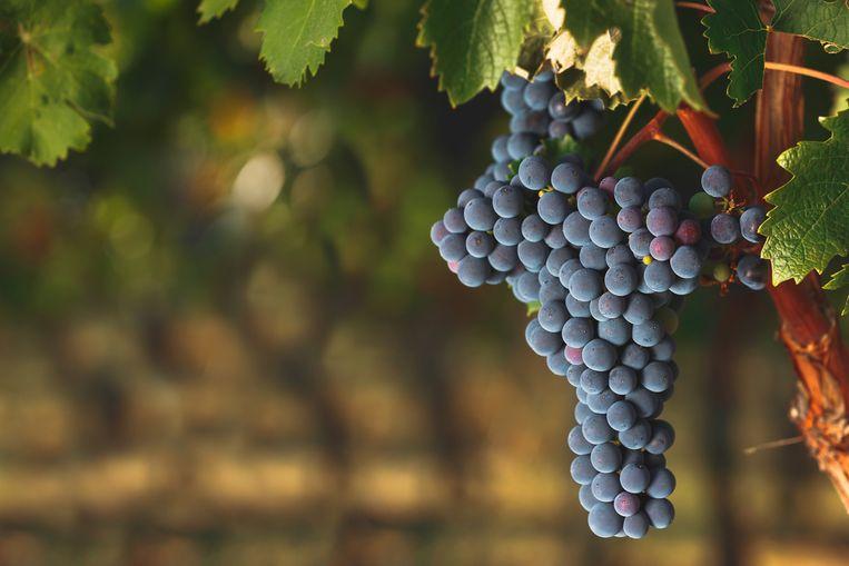 Cabernet Franc druiven