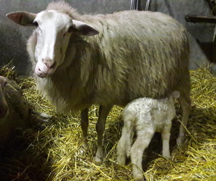 Lammetje Petra en haar moeder.