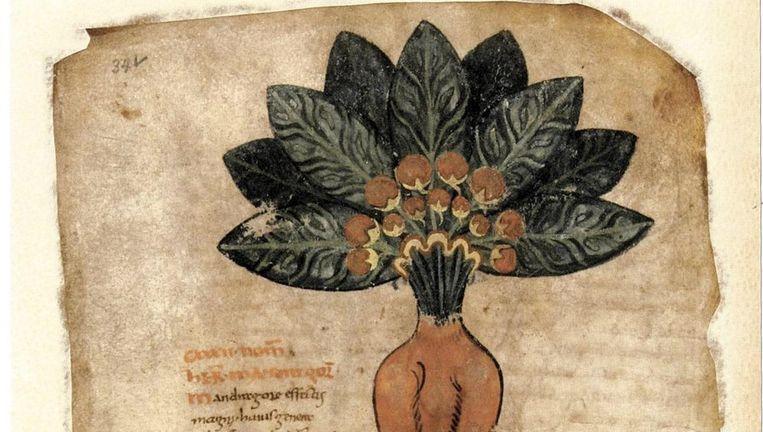De alruin verbeeld door Apuleius Platonicus in de 9de eeuw. Beeld