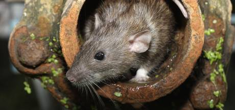 De rat is helemaal terug, met dank aan onze slordigheid! Wat weet jij van de rat?