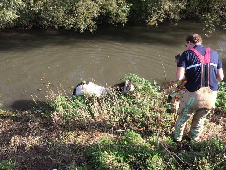 Een ploeg van de brandweerzone Vlaams-Brabant West haalde zaterdagochtend in Lembeek een pony uit de Zenne.