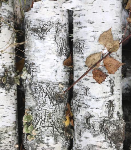 Deze boom wordt minder populair, maar past perfect in de professionele tuin
