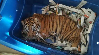 Mexicaanse inspecteurs vinden tijgerwelpje tussen de post