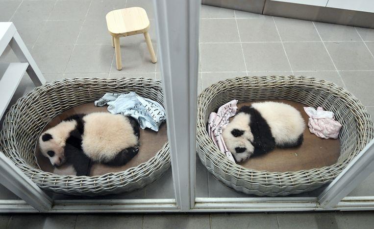 De twee babypanda's van Pairi Daiza, die vorige week donderdag 100 dagen oud waren.