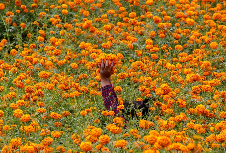 Een vrouw in de buurt van de Nepalese hoofdstad Kathmandu plukt makhmali-bloemen. Daar-van worden slingers gemaakt ter gelegenheid van Tihar, een vijf dagen durend hindoefeest dat vooral in Nepal en sommige delen van India wordt gevierd Beeld EPA