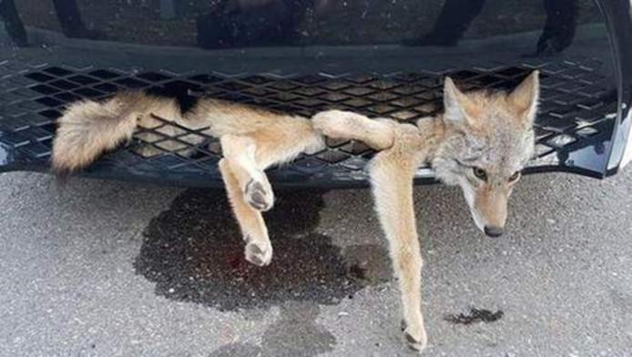 De coyote in zijn ongemakkelijke positie in de autogrille van de Canadese Georgie Knox. Het dier bleek slechts lichtgewond na zijn hachelijke avontuur.