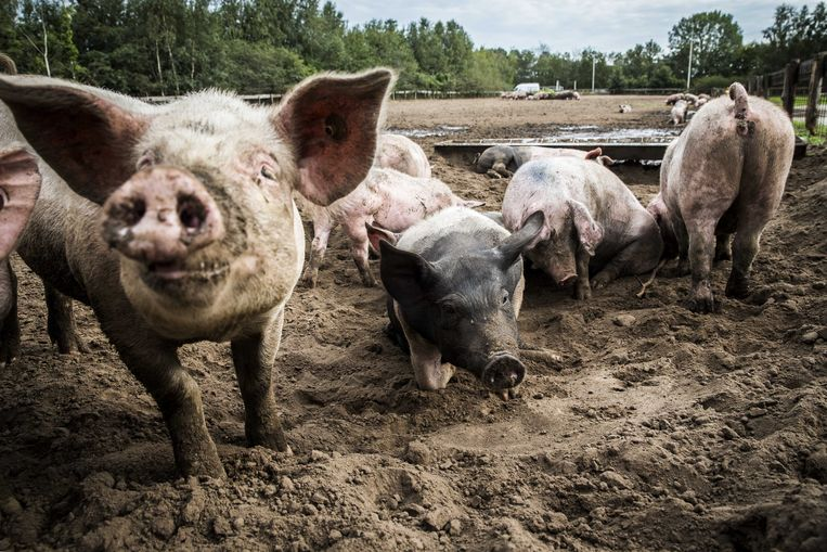 Varkens lopen buiten bij een varkenshouderij in Bathmen.  Beeld ANP