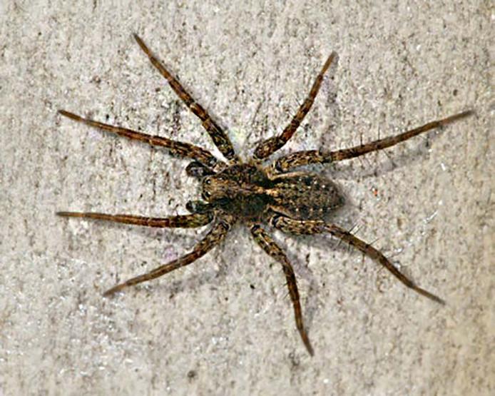 De spin die uit de bananentros in Monster kroop was een exacte kopie van het beestje op de foto volgens Jessica Taal en haar man Michel.