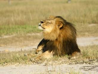 Zimbabwe beperkt jacht op groot wild na de dood van leeuw Cecil
