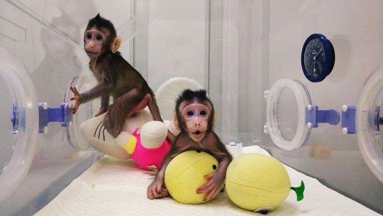 De twee aapjes in de Chinese Academie voor Wetenschappen. Beeld anp