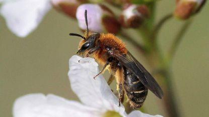 Nieuwe bijensoort ontdekt in België: de tweecellige zandbij