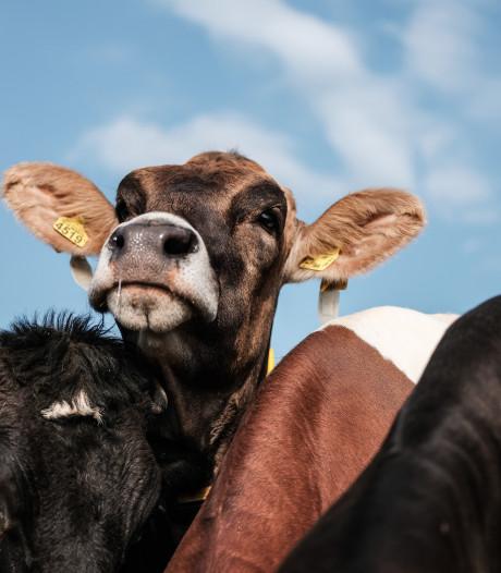 Justitie wil werkstraf voor boer uit Slagharen die zijn 100 koeien zou hebben verwaarloosd