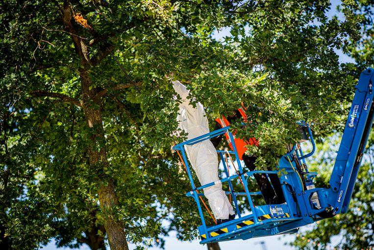 Met een hoogtewerker brandt een brandweerman op het festivaltterrein rupsennesten weg.