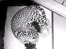 Twee jaguarwelpen geboren in Artis