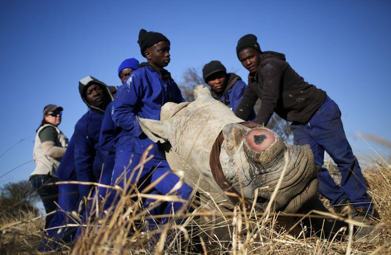 Een neushoorn in Zuid-Afrika onder narcose, waarbij de hoorn net is verwijderd, om te voorkomen dat het dier wordt gestroopt voor zijn hoorn.    Beeld REUTERS/Siphiwe Sibeko