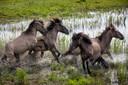 Het natuurlijke gedrag van de konikpaarden in het Munnikenland.