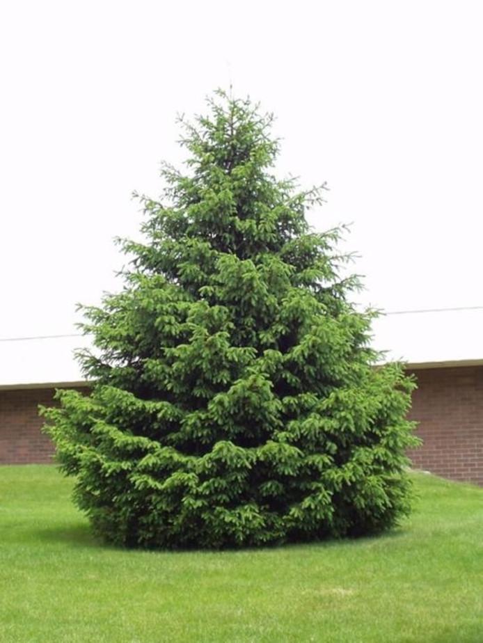 Duurste Kerstboom Vliegt Het Tuincentrum Uit Overig Ed Nl