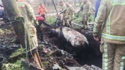 Koe zakt door vloer in beerput: reddingsactie duurt maar liefst 3 uur